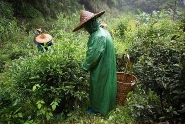 Как Правильно Заваривать Чай Да Хун Пао - разбор вопроса