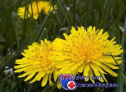 Чай Из Цветков Одуванчика Польза И Вред - основные характеристики
