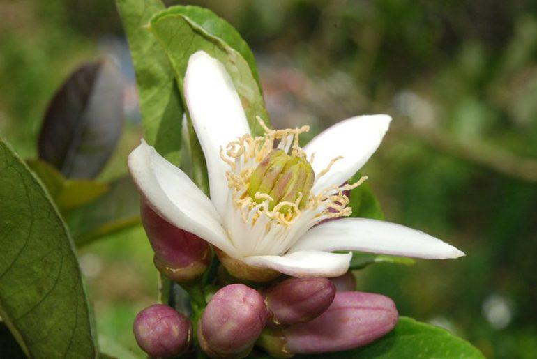 Бергамот Растение Для Чая Польза И Вред - разбор вопроса