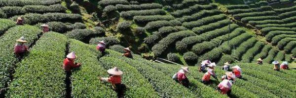 Молочный Улун Это Зеленый Чай Или Черный - основные характеристики