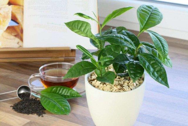 Можно Ли Вырастить Чай В Домашних Условиях - описание