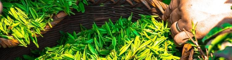 Содержание Кофеина В Зеленом Чае И Кофе - подробнее о чае