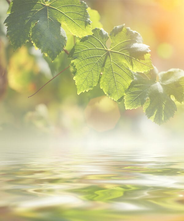 Чай Из Листьев Смородины При Грудном Вскармливании - описание