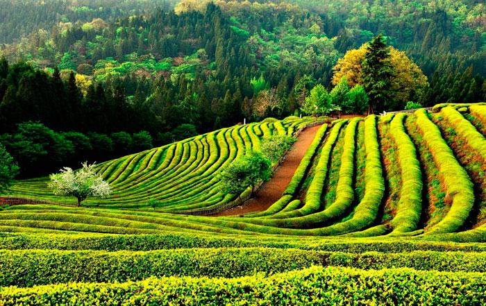 Как Правильно Пить Зеленый Чай В Пакетиках - советы