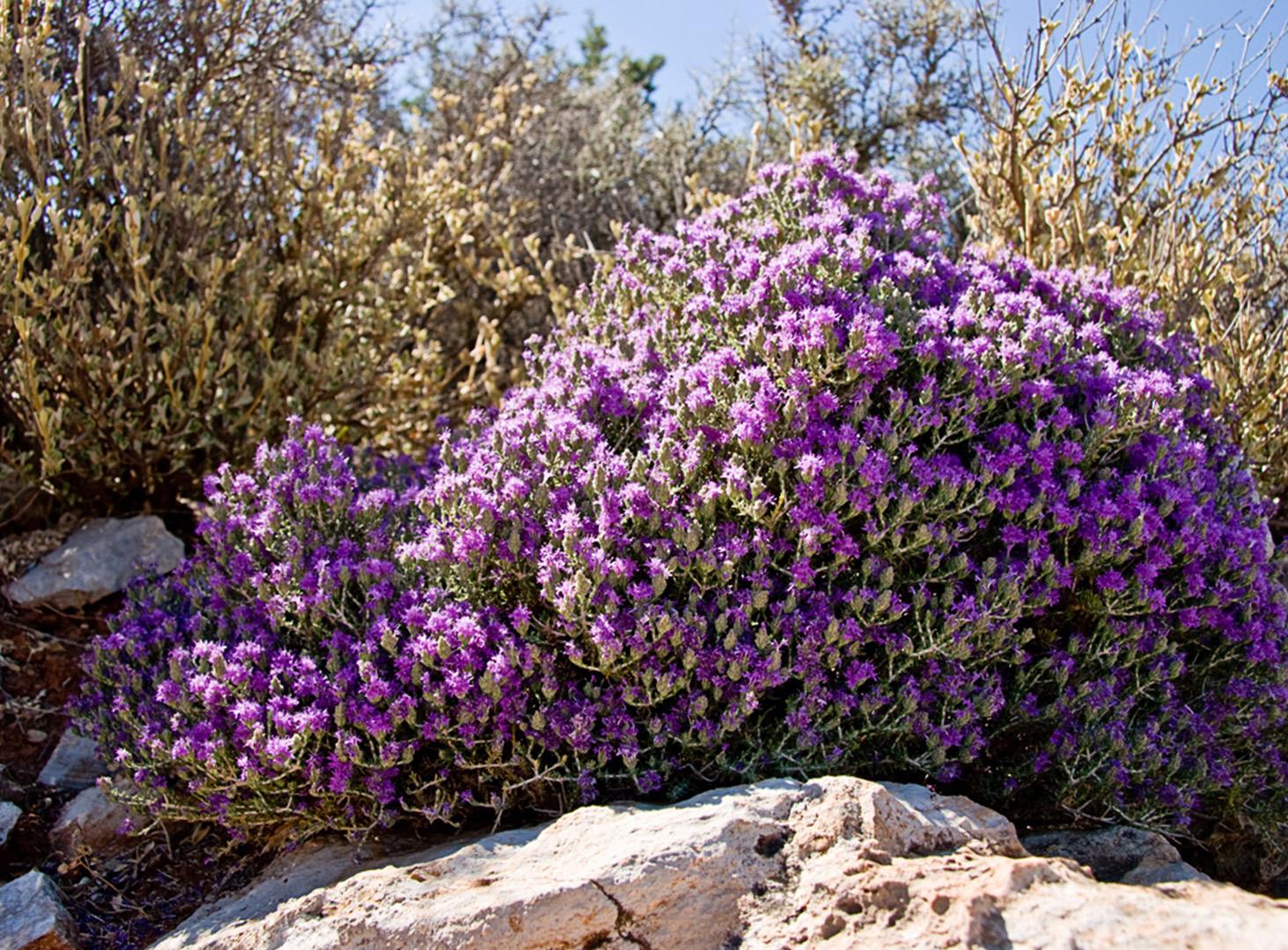 Диктамос Критский Чай Полезные Свойства И Противопоказания - основные характеристики
