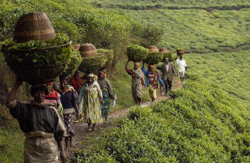 Гринфилд Цейлонский Или Кенийский Какой Чай Лучше - советы