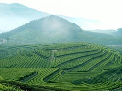 Из Какой Провинции Китая Пришел Чай Пуэр - детально о чае