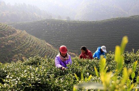 Как Правильно Заваривать Чай Из Хвойных Соцветий - советы