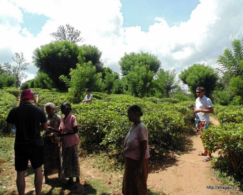 Когда Собирают Урожай Чая На Шри Ланке - детально о чае